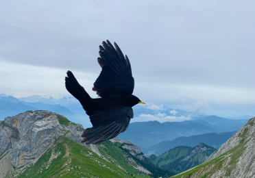 bird flying in the swiss alps
