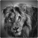 realistic pencil drawing of a lion